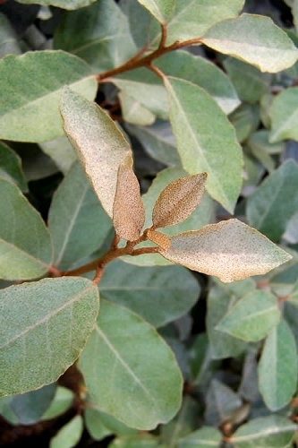 Fruitland Elaeagnus  (Silverberry) - 1 Gallon Pot